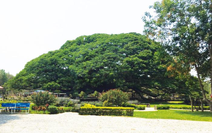 巨大な合歓(ねむ)の木
