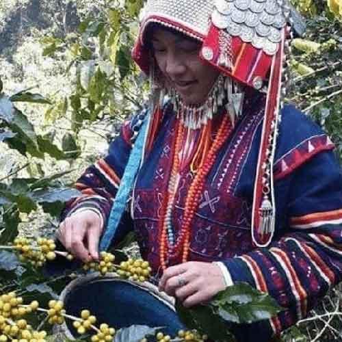 アカ族の女性によるコーヒーの実の手入れ