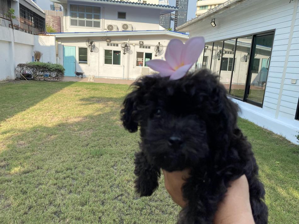 今月の仔犬:激レアなティーカッププードルが生まれました! 小ちびの親戚です。クリームと黒。タイニートイプードルのシルバーもいます。